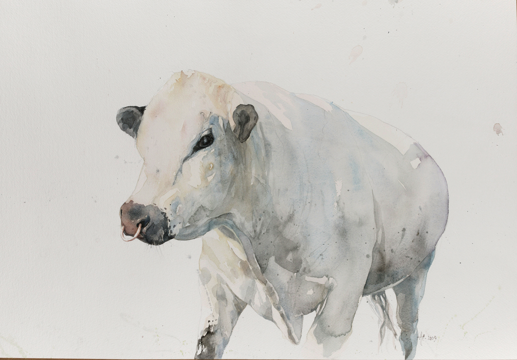 White Bull on Cley Marshes