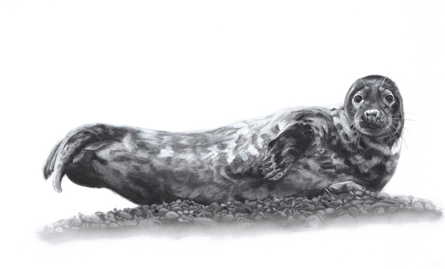 Lucy Boydell - Seal