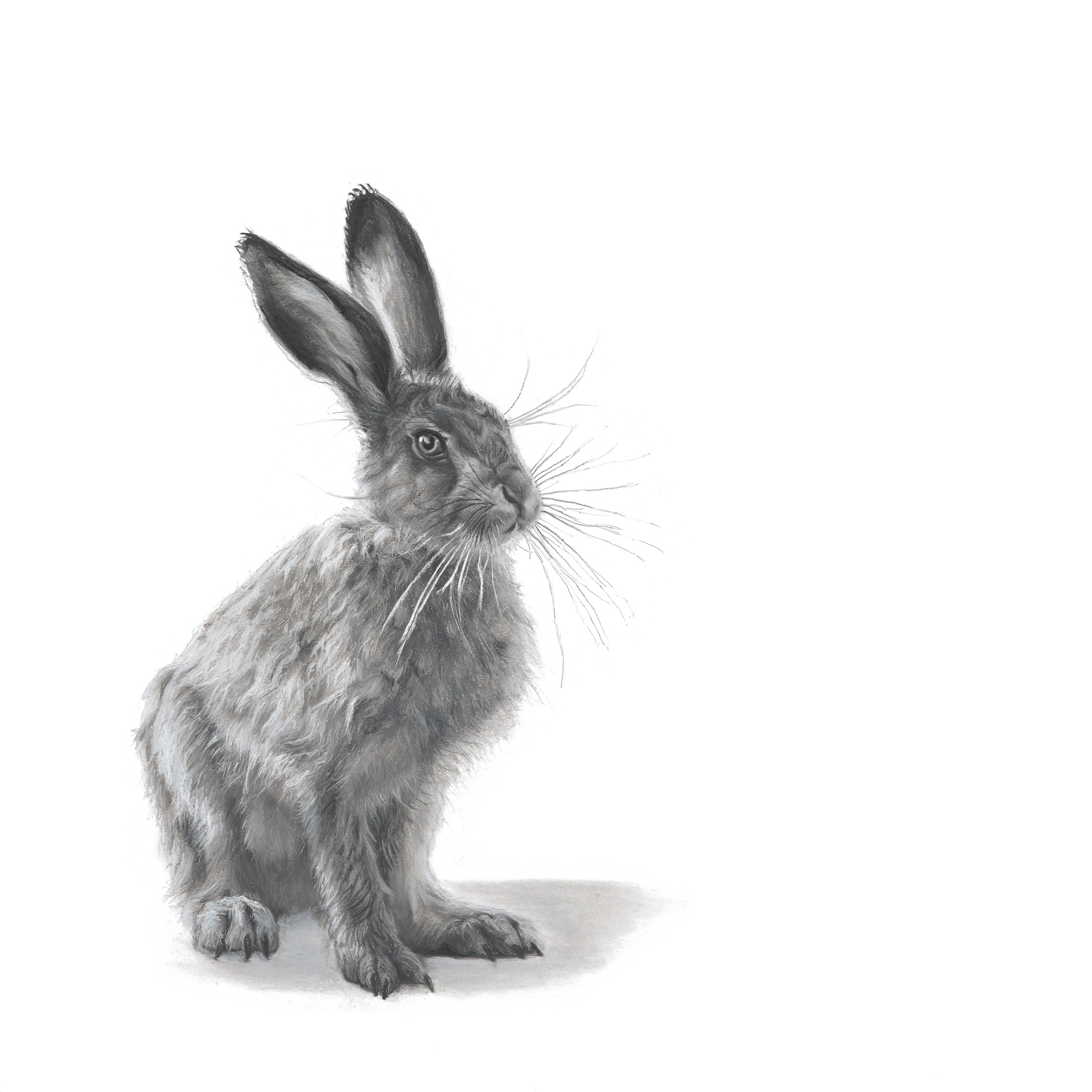 Young Hare = A Leveret